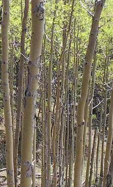 Poplars at Kananaskis, July 2002